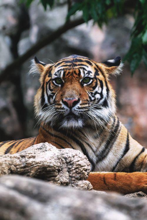 captvinvanity:  Harimau Kayu |Harimau Sumatera