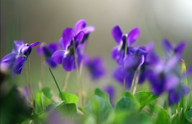 фиалки, фиолетовые, цветы, растения, макро, весна
