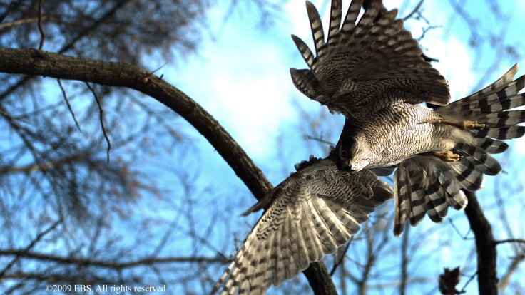 A goshawk's four-foot wingspan, long tail, razor-sharp talons and extraordinary eyesight allows it to ambush its prey with precision. From Goshawk: Soul of the Wind