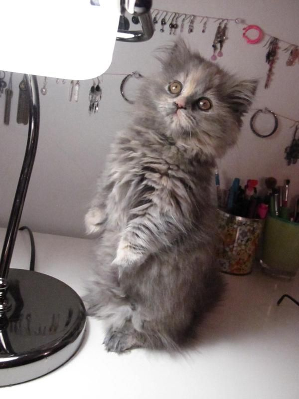 munchkin cats can just sit up like hamsters, how could u not love them?