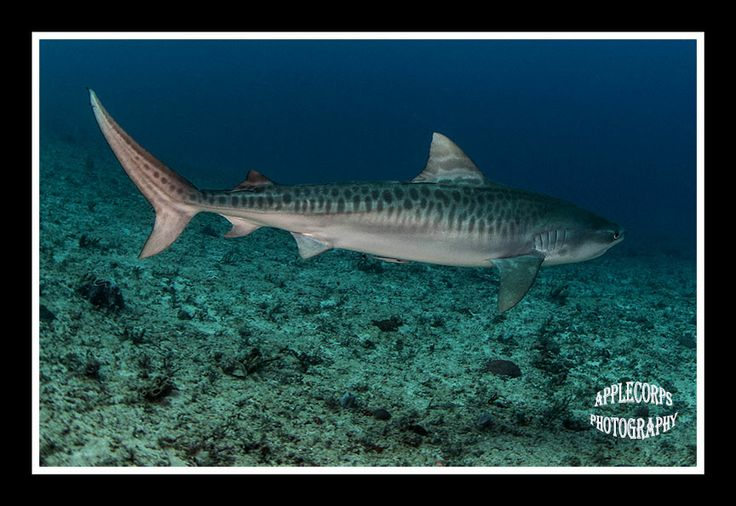A young Tiger Shark visiting an area dominated by Lemon Sharks.  Courtesy of www.ApplecorpsPhotography.com