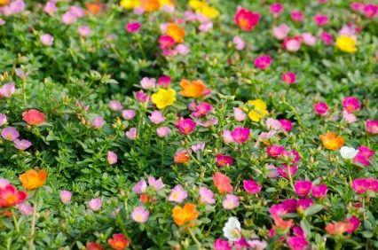 How To Grow Moss Rose Gardening Pinterest Flower