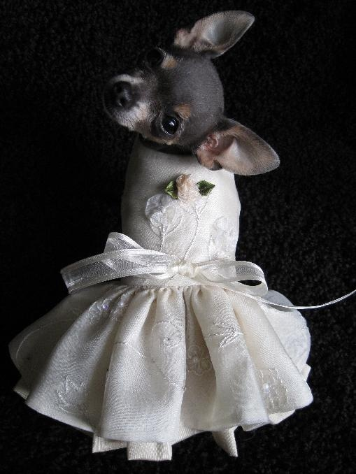710 Best Chihuahua Love Images On Pinterest