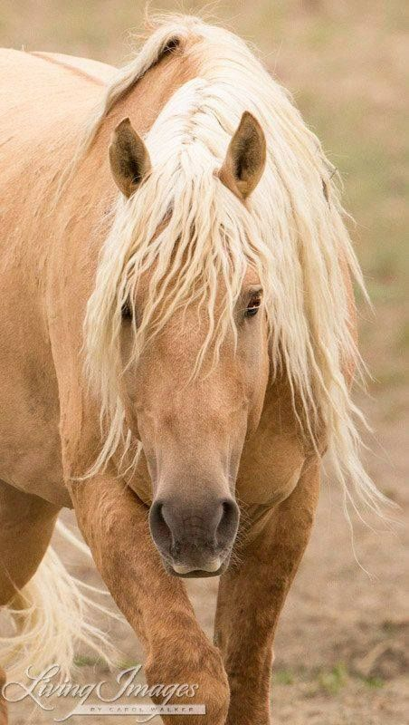 """Corona is a Sand Wash Basin wild mustang in Colorado. Image shot by Carol Walker. For more information about these beautiful horses and how you can help save them, please visit the """"Sand Wash Basin Wild Horses"""" page on Facebook!"""
