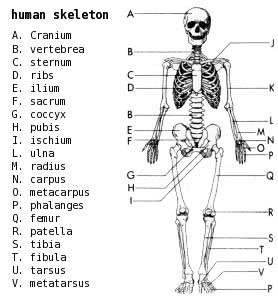 Human Skeleton Printables - Public Domain