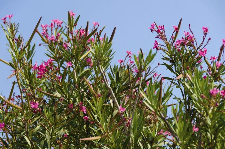 Although the shrubs are usually grown in the warmer regions of USDA hardiness zones, oleanders often perform surprisingly well a bit outside this comfort zone. Learn more about oleander winter hardiness in this article.