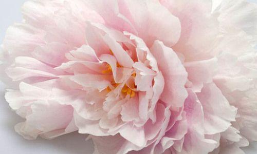 Paeonia Lactiflora 'Martha Bulloch', Peony 'Martha Bulloch', 'Martha Bulloch' Peony, White flowers, White Peonies, Pink Flowers, Pink Peonies, Fragrant Peonies