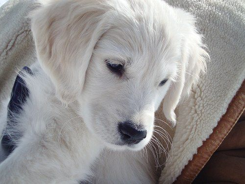 English Creme Golden Retriever Puppy! Aww!
