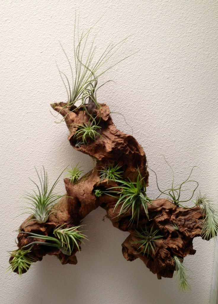 Driftwood + Airplants = AWESOME!