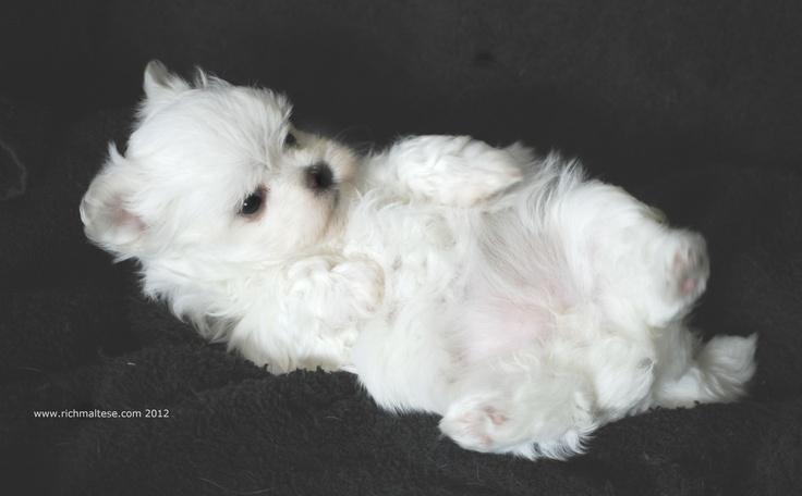 A 6 week old Maltese p...