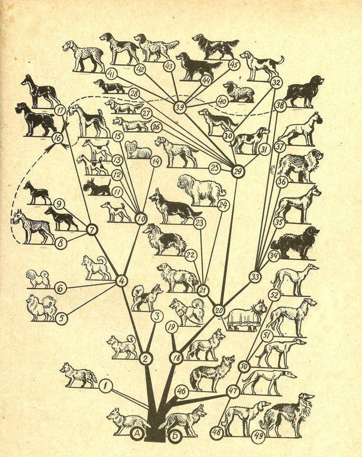 А - древние Шакалообразные; Б- древние волкообразные.  1 - современный шакал; 2 - ископаемые шпицеобразные собаки; 3 - охотничьи лайки; 4 - декоративные шпицы древних Греков; 5 - шпиц; 6 - болонка; 7 - немецкий пинчер; 8 - ризеншнауцер; 9 - карликовый пинчер; 10 - английский терьер; 11 - скочтерьер (шотлондский); 12 - жесткошерстный фокстерьер; 13 - гладкошерстный фокстерьер; 14 - скайтерьер, 15 - эрдель-терьер; http://zooventa.ru/forum/forum2/topic1/