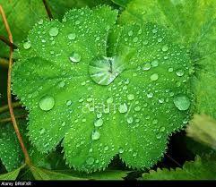 Lady Mantle's Leaf