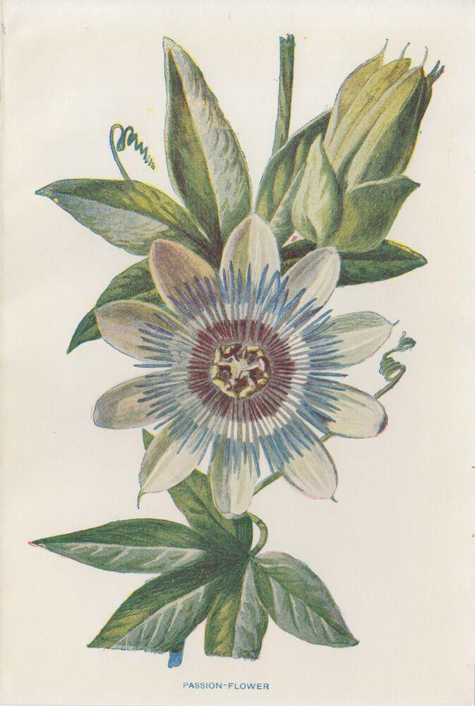 Lovely Passion Flower Art Antique Botanical Print By Hulme Vintage Antique Botanical Print Flower Prints Art Flower Art