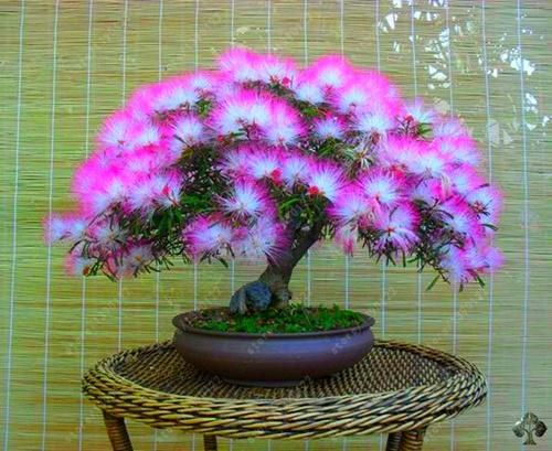 10 pcs/bag bonsai albizia julibrissin beautiful flower acacia seeds like a genius acacia wood flower seeds home garden plant pot