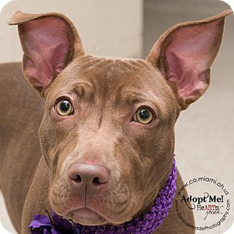 URGENT!  I am at a kill shelter in Troy, OH - Pit Bull Terrier Mix. Meet Raya, a dog for adoption. http://www.adoptapet.com/pet/12027444-troy-ohio-pit-bull-terrier-mix