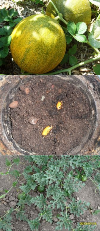 (+1) тема - Выращивание дыни и арбуза в умеренном климате | 6 соток | огород | Постила