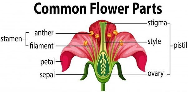 Best Of Parts Of A Gumamela Flower And Its Function And Pics Flower Function Gumamela Parts Pics In 2020 Parts Of A Flower Flower Structure Diagram Of A Flower