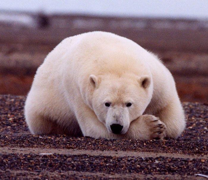 Polar Bears--population 22,000 to 25,000