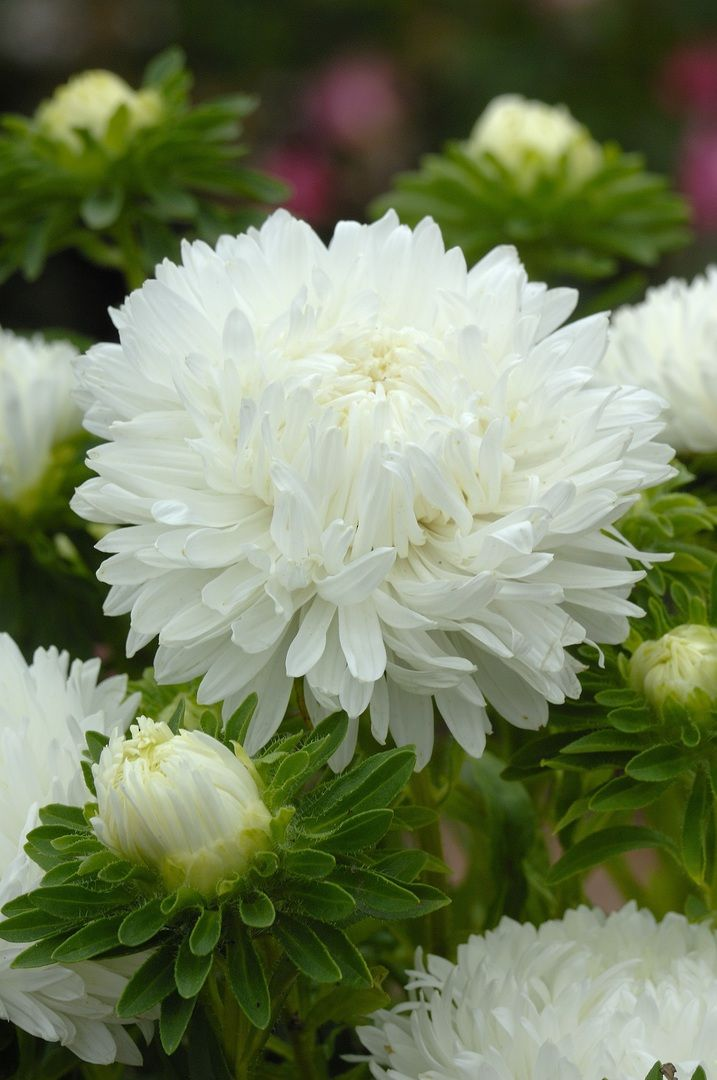 Aster King Size White 100cm 200cm By Height Flowers Kings Seeds Nz Ltd Aster Flower White Flowers White Gardens