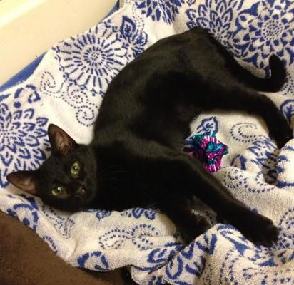 Mia is a female cat, Domestic Short Hair, located at Calling All Cats Rescues in Toms River, New Jersey.