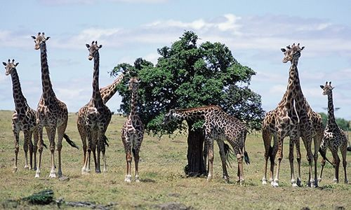 Giraffes at Animal Corner