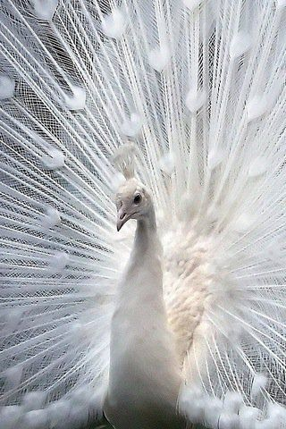 Another shot of the spectacular white peacock.