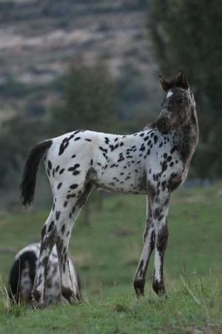 Appaloosa from South Africa Kondos a Kings Daughter from Kondos Stud