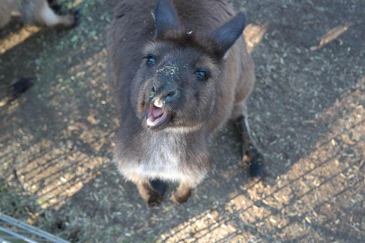 Yo wassup! #wallaroo #kangaroo #australia #wildlife