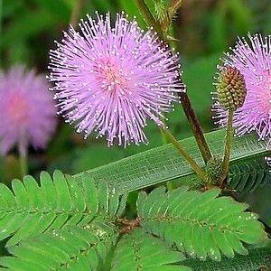 Mimosa pudica lilarose.  Kruidje-roer-me-niet  Hoogte: 25 - 40 cm.  Zaaien: febr. - april Bloei: vanaf april `s Nachts slapen de blaadjes samengevouwen. Bij aanraking overdag vouwen de blaadjes zich ook samen. Ook zeer geschikt als potplant.
