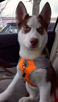 Siberian Husky puppy for sale in BLOOMINGTON, IN. ADN-27355 on PuppyFinder.com Gender: Male. Age: 5 Months Old