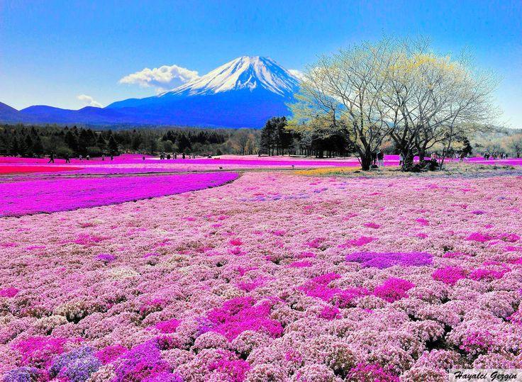 Takinoue Park ile Shibazakura Çiçekleri, Japonya - Hayalci Gezgin - Seyahat Rehberi / Travel Guide