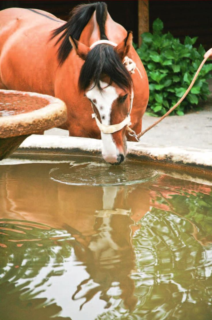 Chilean Horse purebred  Abrebadero