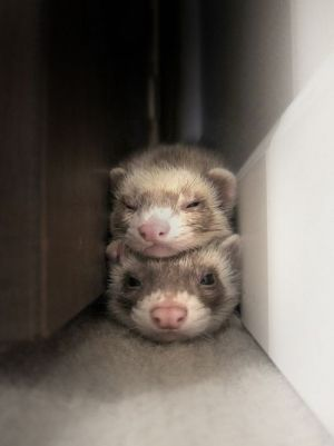 two cute ferrets sleeping on top of each other