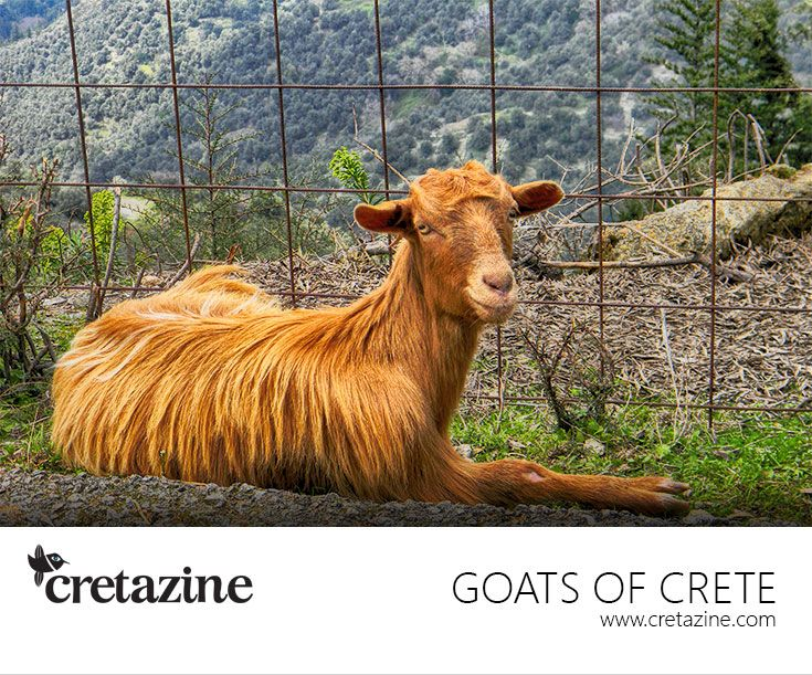Go(a)t a new haircut! ;-)  Enjoy my view: http://cretazine.com/en/crete/travel-explore/island-routes/item/703-anopoli-aradaina