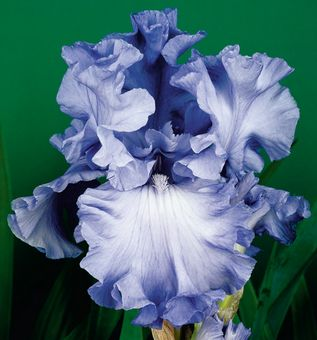 """Abiqua Falls. It is a big advance in color, flower form and plant vigor. Clean sapphire blue self has ruffled and twirled petals. Its very vigorous plant growth is both disease resistant and produces eight to nine buds per stalk. Midseason. Height: 39"""". Awards: HM '05, AM'07. $8.00"""