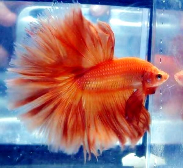 46 best crowntail bettas images on pinterest betta fish for What is a beta fish