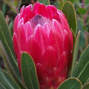 Hardiest of all proteas, with stunning deep pink flowers. Compact bush, ideal for small areas, rockeries and containers. Frost and dry tolerant. If planting into pots, ensure Australian native potting mix is used. Fertilise with Australian native plant fertiliser only.  Grows 2m high x 1.5m wide.%...