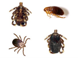 Flea and Tick - Answers to Your Flea and Tick Questions #Pests #PrecisePestControl