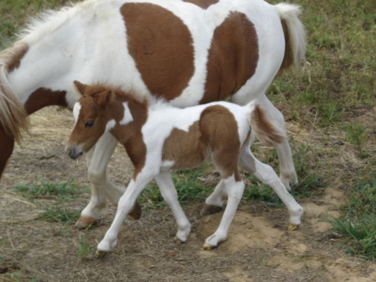 About the miniature horse, Miniature horses written by ...Full Grown Mini Horse