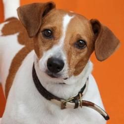 Diabolo, Chien jack russell à adopter