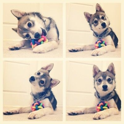 "Meet Kobi, the Alaskan Klee Kai ""Did someone say...treats?"""