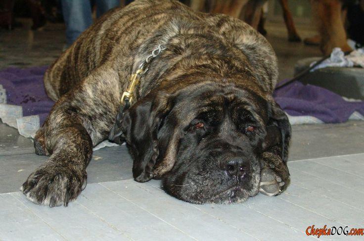 Grande photo de chien de race