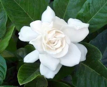 gardenia augusta (jazmin del cabo) gajo e03