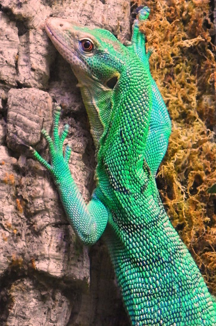 260 best laughing lizards images on pinterest animal kingdom