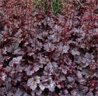 P1 Heuchera 'Plum Pudding (PBR)' coral bells  Position: full sun or partial shade Soil: fertile, moist or well-drained soil Rate of growth: average Flowering period: June to August Hardiness: fully hardy H: 60 S: 50 Lobed, plum-purple leaves with darker veining and a light dusting of silver, form neat, slightly spreading mounds, which add colour and diversity towards the front of a border. Perfect for a bed with rich purples, lilac, soft pinks and silvers.