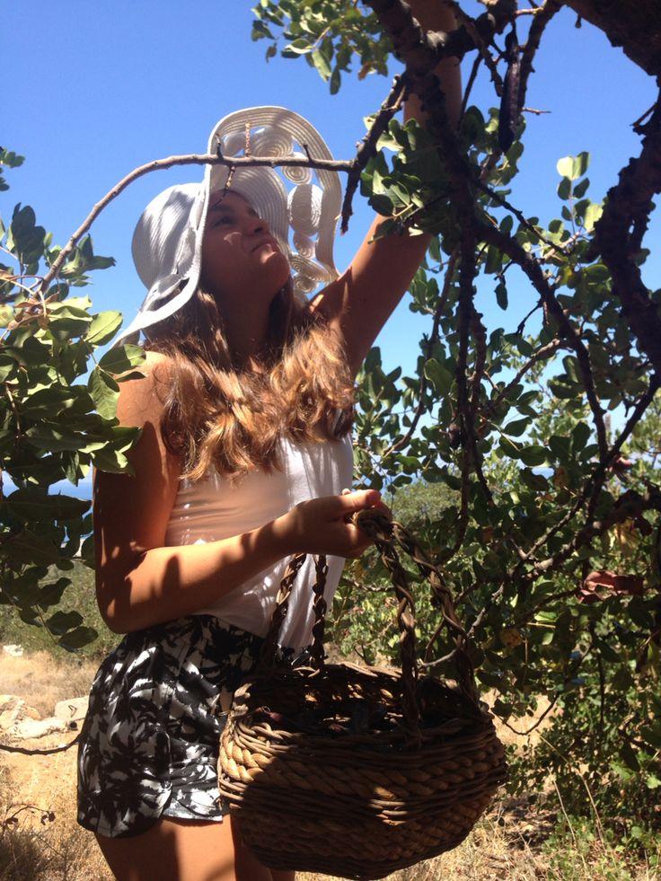 Harvesting carobs