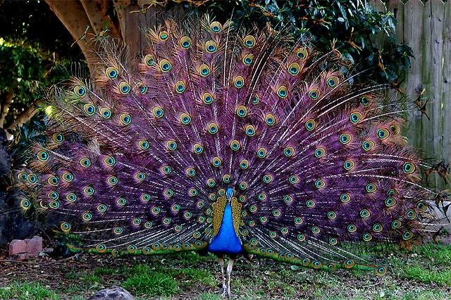 PURPLE peacock feathers? Be still my heart!
