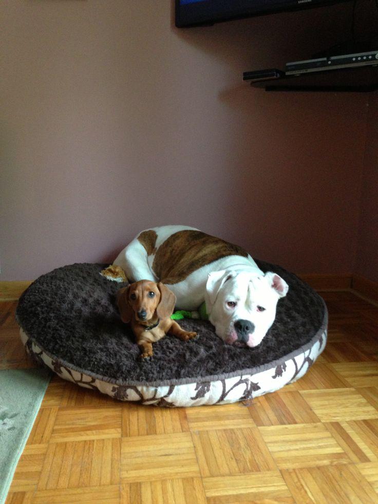 Mini dachshund American bulldog
