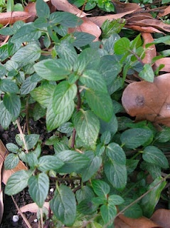 Peppermint for a stuffy nose: Stuffy Nose, Nature Remedies, Medical Stuff, Buddies Care, Aid Bags, Homesteads Survival, Emergency Care