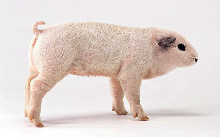 Funny pig weired insertions 10